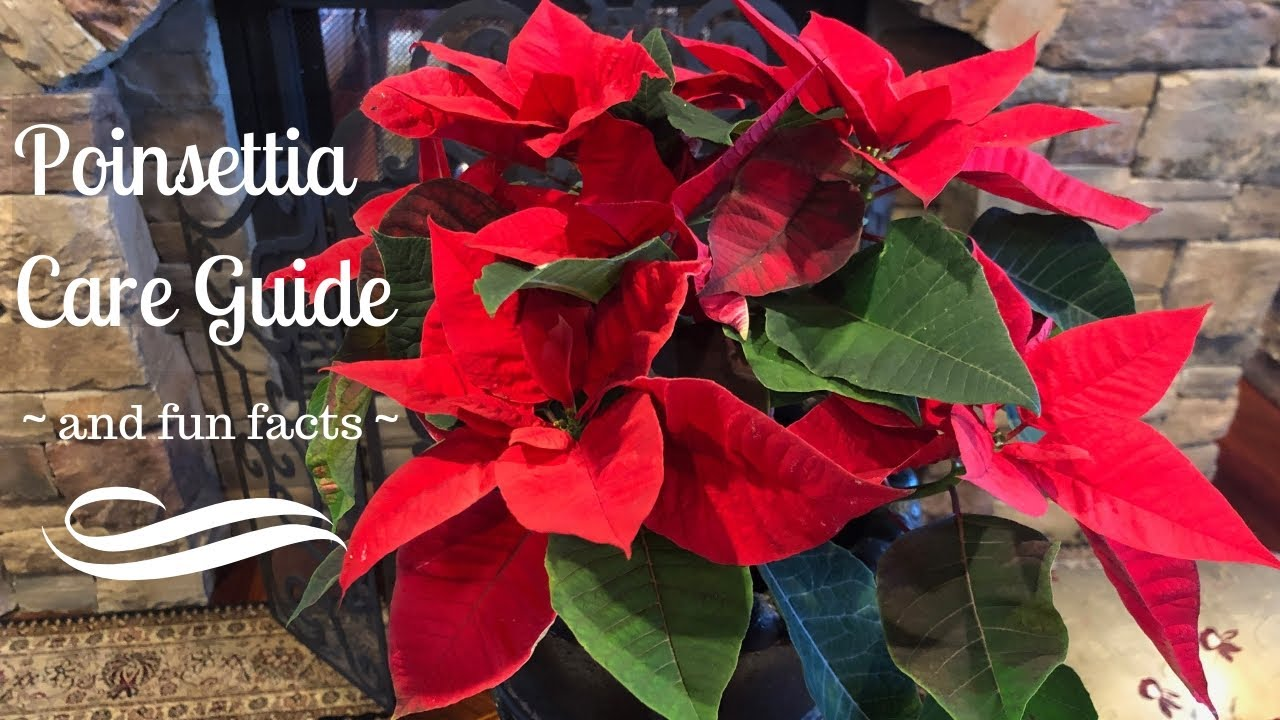 Poinsettia Care Guide And Fun Facts Youtube