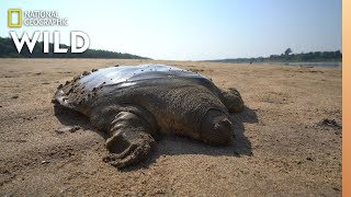 Rare Giant Soft-Shell Turtle Released Into the Wild | Nat Geo Wild