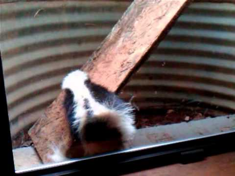 Smart Skunk Stuck In Window Well Figures Out How To Escape