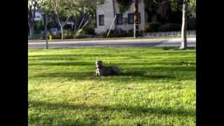 Weimaraner Hunting Dog Off Leash Dog Trainer Los Angeles Orange Riverside San Bernardino