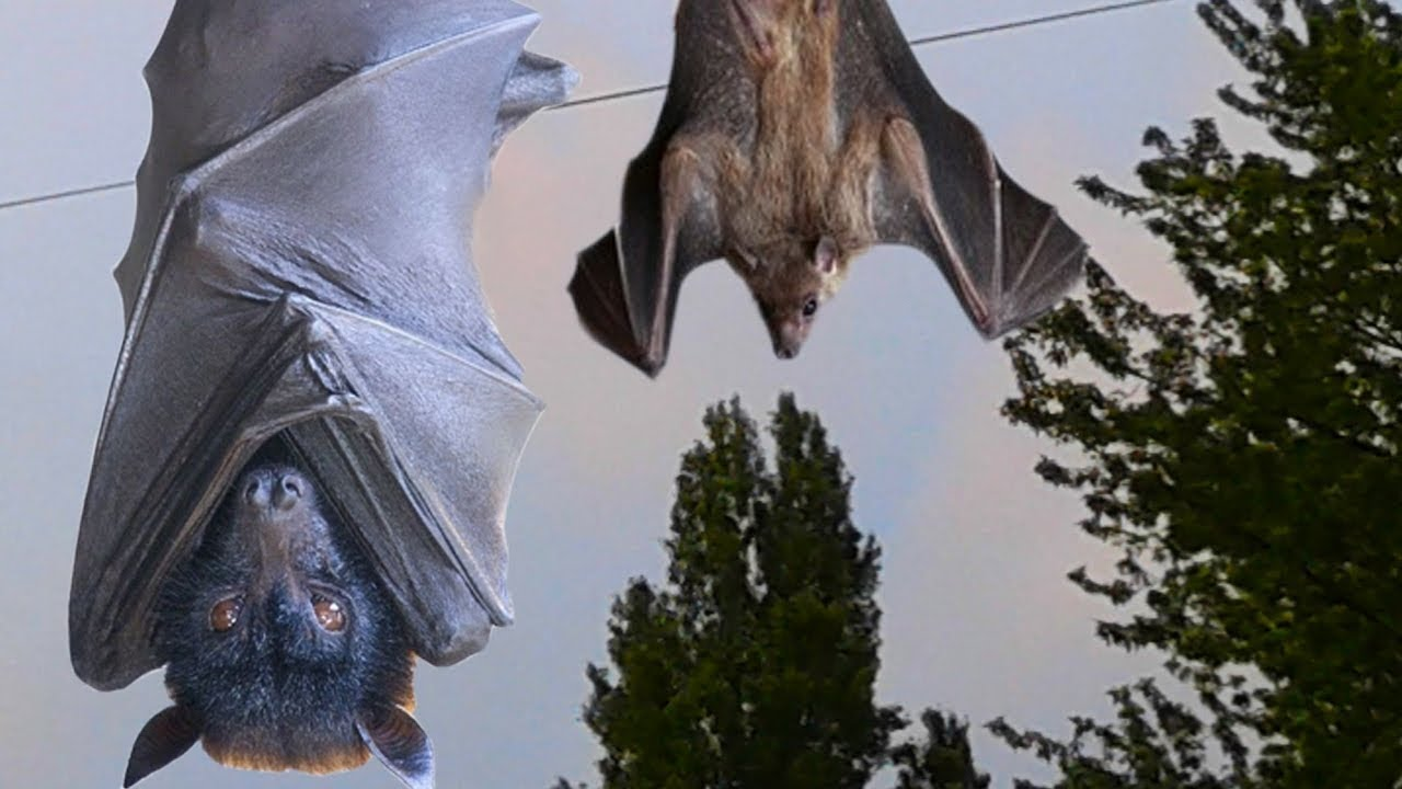 Bats Sound Noises Screeches And Calls Nature Sounds Baby Bat Youtube
