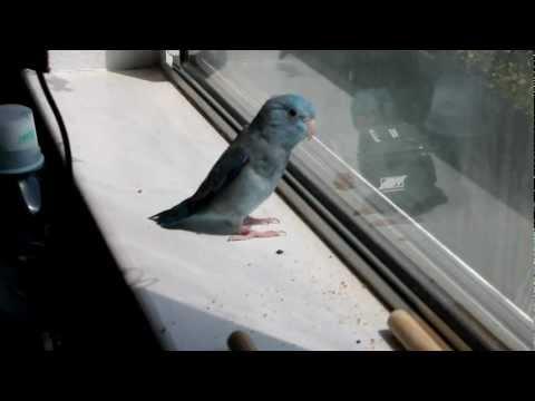Parrotlet Singing