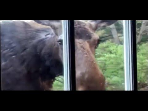 Moose Walks Right Up To Merrimack, New Hampshire Woman's Door