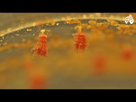 Ever Wondered How Baby Jellyfish Enter The World? | Ocean Wise