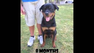 Rottweiler growing up from 7 weeks to 2.5 years