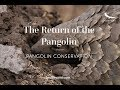 The Return of the Pangolin   Pangolin Conservation