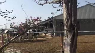 白沙屯媽祖來了~牛群自動排隊迎接---2017白沙屯媽祖進香0301