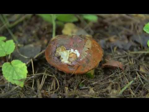 Как выглядит гриб маховик