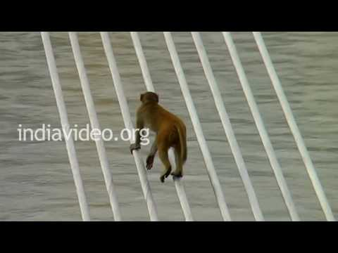 Monkeys playing on Lakshman Jhula