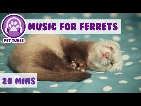 Music for Ferrets! Relaxing and Soothing Music for Ferrets, Help Your Ferret Sleep!