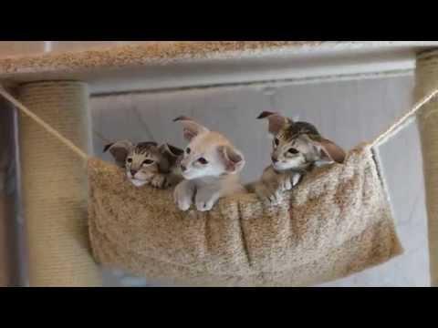 Ориентальная кошка передача  об ориентальной породе кошек на канале  Домашние животные