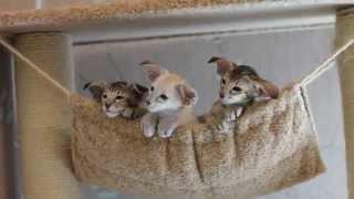 Ориентальные и сиамские котята. П-к