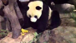 oso panda se orina sobre su amigo panda