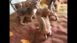 Абиссинские котята гуляют
