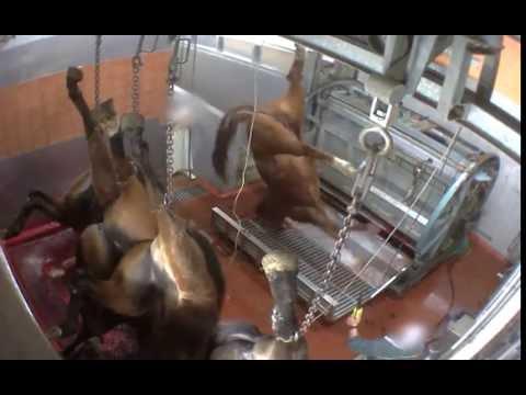 Abattoir Pezenas - mise à mort des chevaux