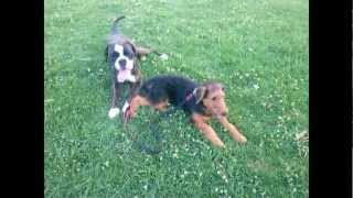 Airedale Terrier Puppy Playing With Boxer
