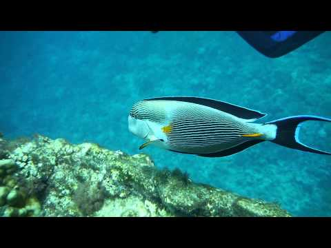 Sohal Surgeonfish Attacking Divers