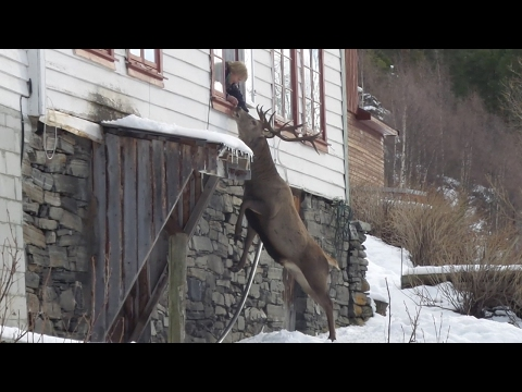 Stag Visits Old Woman's House Every Day