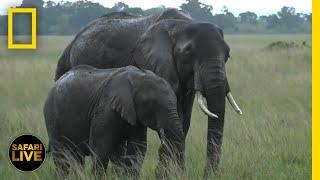 Safari Live - Day 384   National Geographic