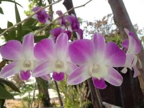 กล้วยไม้สกุลหวายของไทย เลี้ยงง่าย และสวยงาม Thai Orchid Lover