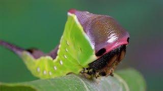Cerura vinula. Puss moth, Grosser Gabelschwanz, Большая Гарпия