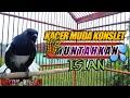 Kacer Poci Muda Gacor Konslet Bukor Full Muntahkan Isian  Mp3 - Mp4 Download
