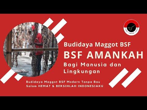 Amankah Lalat BSF Bagi Manusia??? Budidaya BSF Modern TANPA BAU!