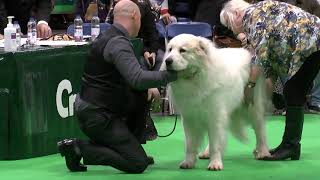Pyrenean Mountain Dogs  Great Pyrenees @ Penellcy (Logan)