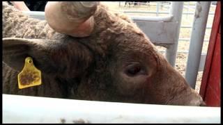 Festival Western de St-Tite - Marcel Bouchard - Monter un taureau!