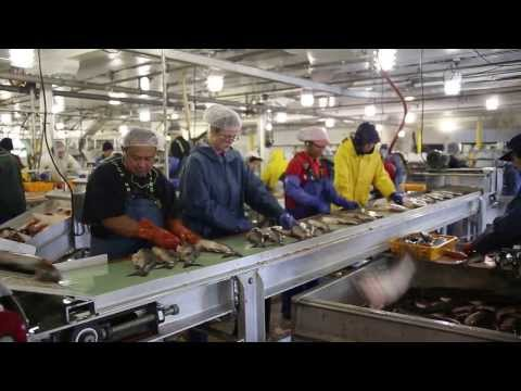 Processing salmon fish at the local Petersburg Cannery in Alaska