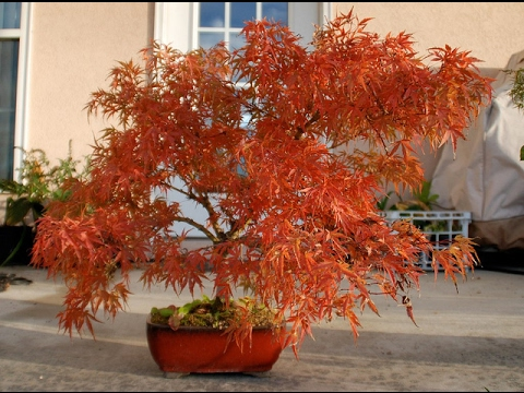 Bonsai Japanese Maple Red Dragon Youtube