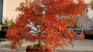 Bonsai- Japanese Maple- 'Red Dragon'