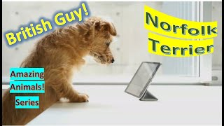 Norfolk Terrier  pet dogs  Together, Norfolk and Norwich Terriers are smallest working terriers
