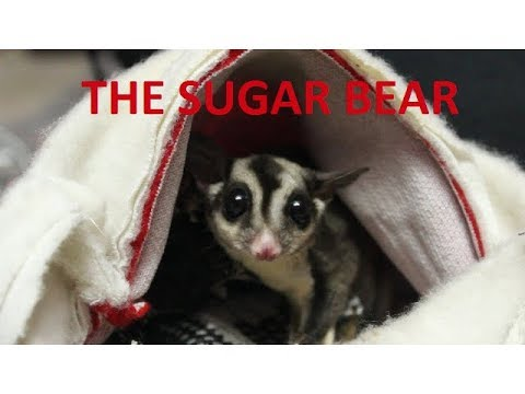 SUGAR GLIDER in INDIA cutest exotic pet ever| owning a sugar glider | Wildly Indian