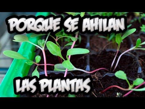 Problemas En El Semillero Porque Se Ahilan Las Plantas Y Solucion La Huertina De Toni Youtube