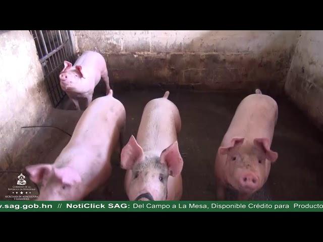 Del Campo a la Mesa, Disponible Crédito para Productores de Cerdos
