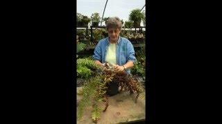 Cutting Back Perennial Ferns