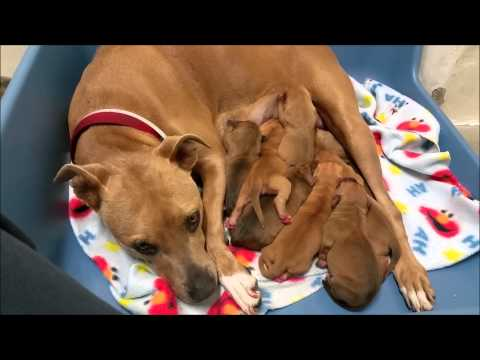 American Staffordshire Terrier Puppies Born At An Animal Shelter