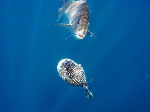 Snapper Eats Puffed-up Blowfish