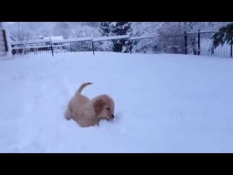 Cute Golden Retriever Puppy First Snowfall