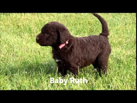 5 Week Old Chocolate F1b Labradoodle Puppies Youtube