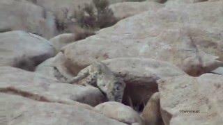 野生のユキヒョウ映像⑤in Ladakh