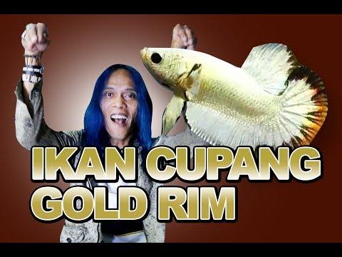 IKAN CUPANG GOLD RIM