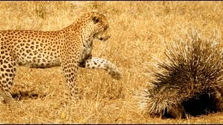 Leopard Takes on Porcupine & Instantly Regrets It - Serengeti Narrated by John Boyega