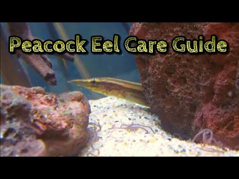 Peacock Eel Care & Information -Spiny Eel Care - Freshwater Eel Care