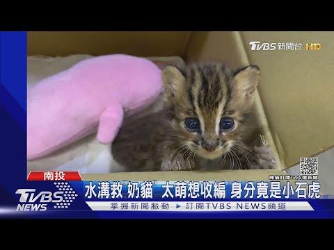 水溝救「奶貓」 太萌想收編 真實身分竟是小石虎|TVBS新聞