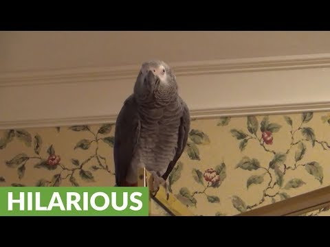 African Grey Parrot knows how to party