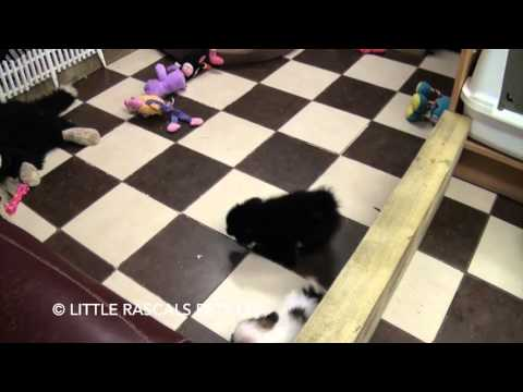 Little Rascals Uk breeders PomPap and Papillon playtimes - Puppies for Sale 2016