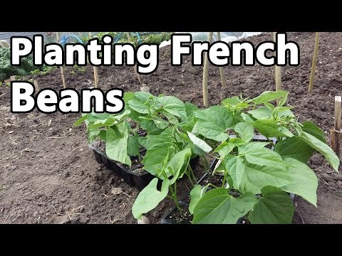 Planting Three Varieties Of French Beans