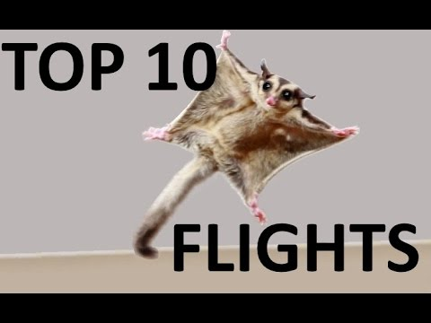 ★BEST Sugar Glider Flights!★